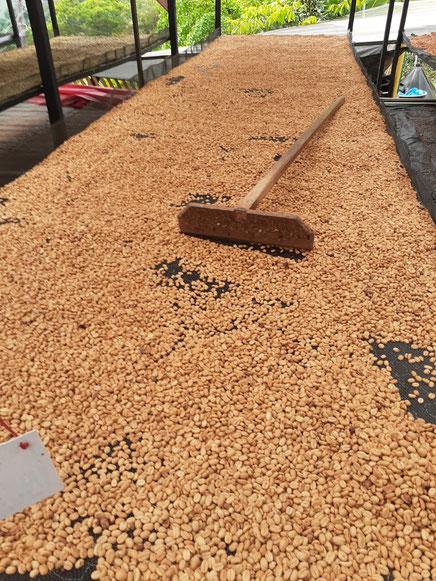 Bei der Trocknung ist es wichtig, die Pergaminos nicht zu dick zu lecken und sie regelmäßig zu wenden. Bei der hohen Luftfeuchtigkeit, fängt der Kaffee sonst schnell an zu schimmeln.