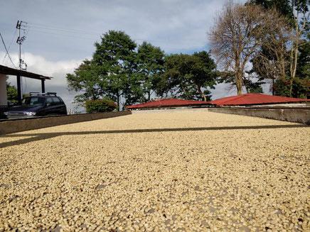 trocknung-auf-dem-patio-auf-der-kaffeefarm-von-sebastian-ramirez-in-kolumbien
