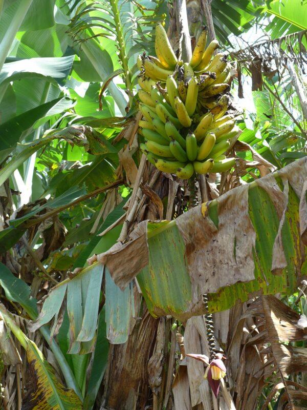 Bananenstaude auf der Kaffeefarm