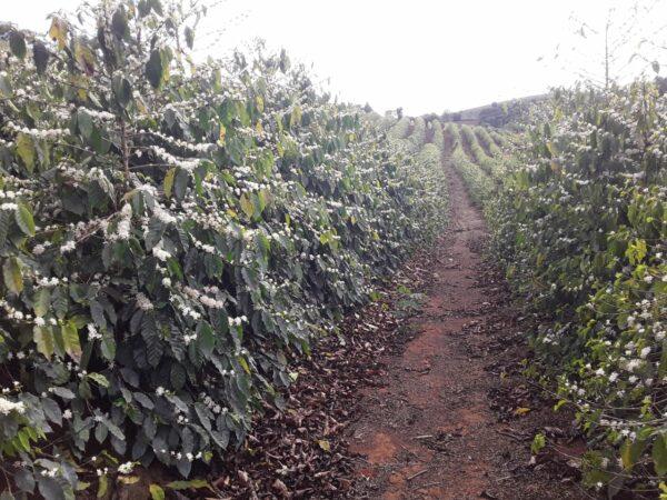 Kaffeeblüte bei Itamar Gonzaga auf seiner Farm Sitio Lagoa